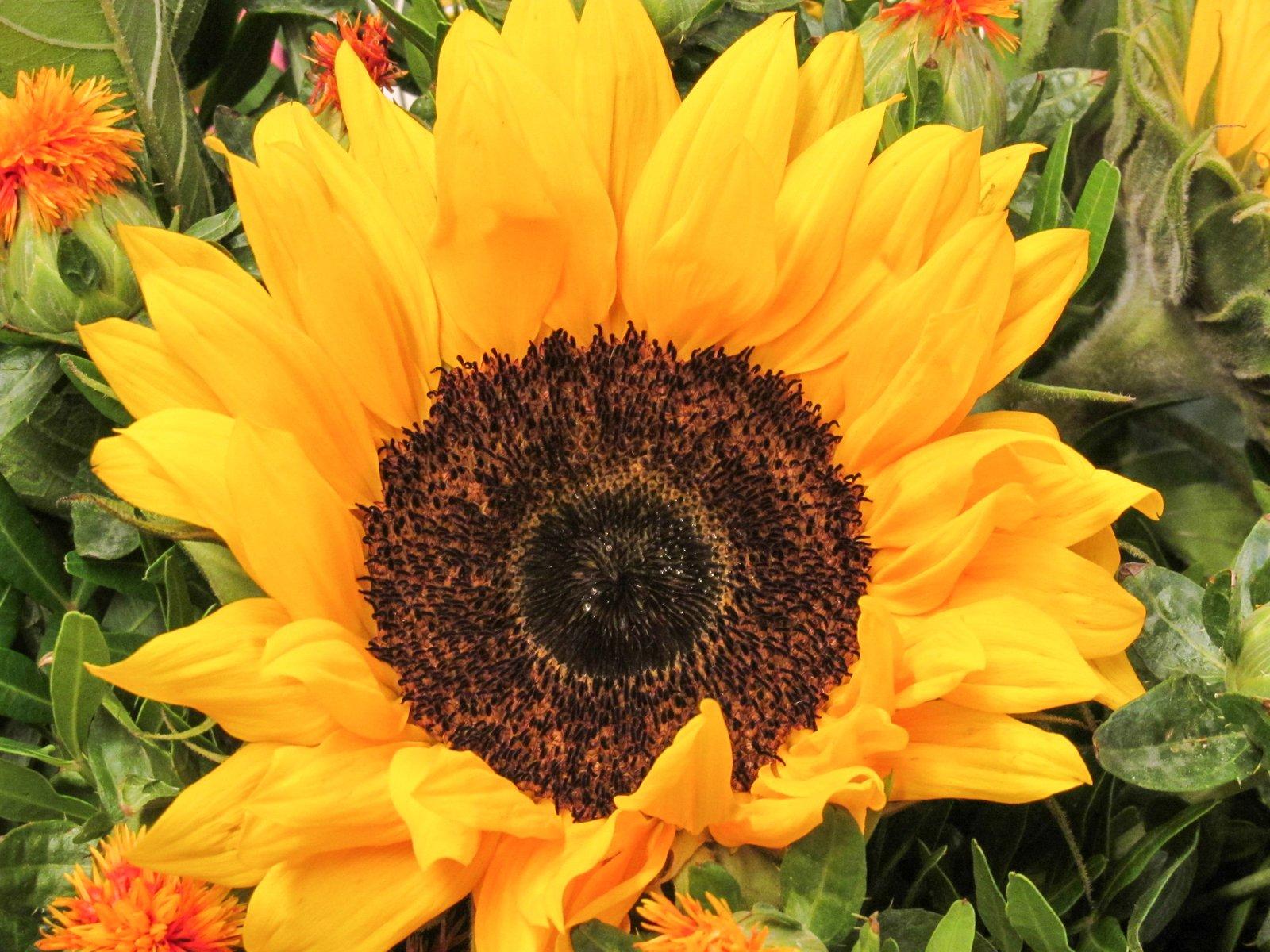 Free sunflower bouquet 3 Stock Photo - FreeImages.com