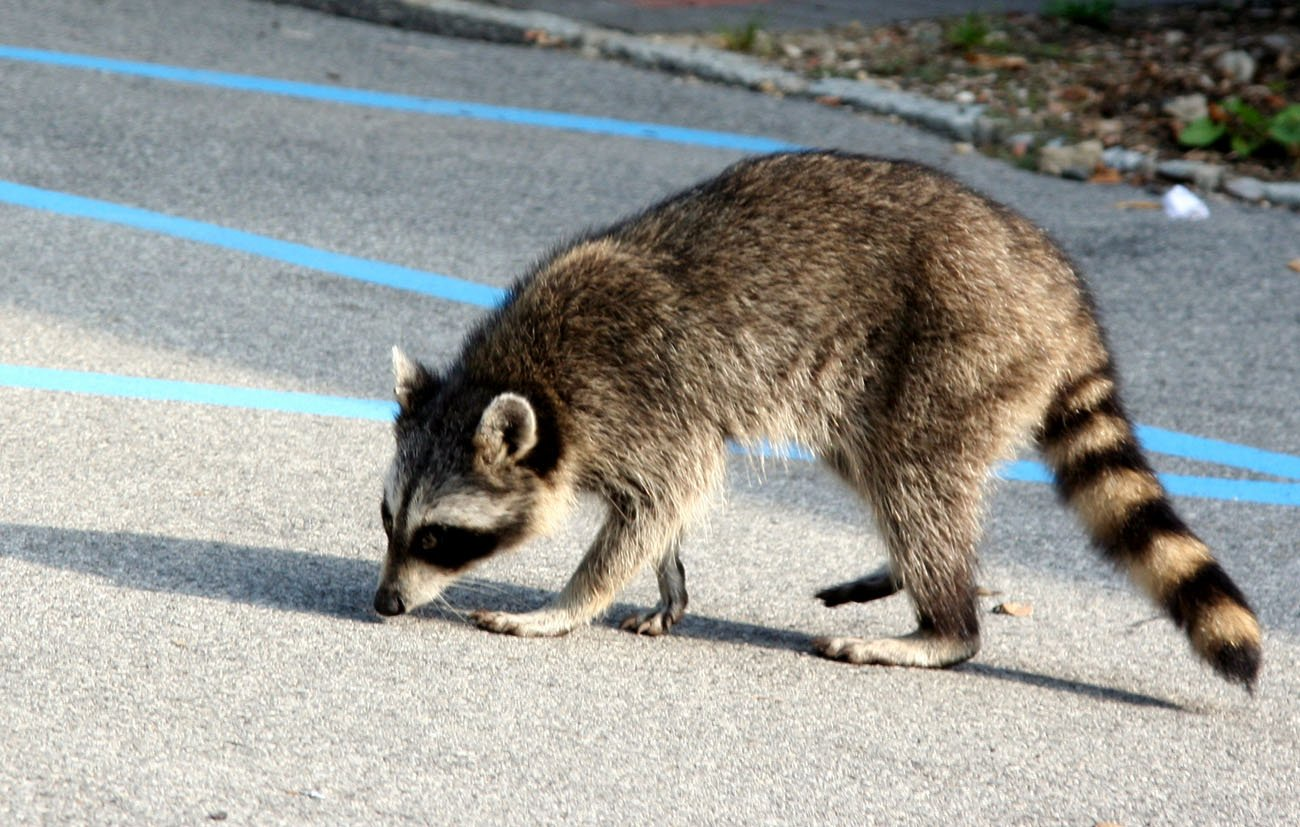 Free rabid raccoon Stock Photo - FreeImages.com