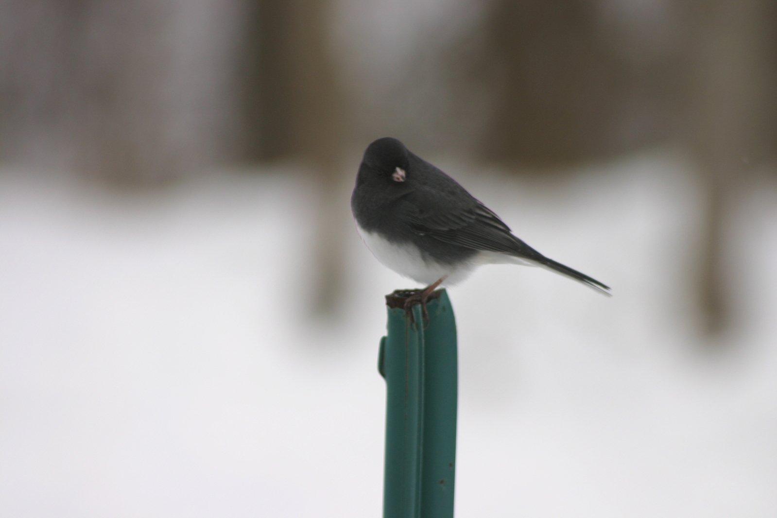 Bird on T post