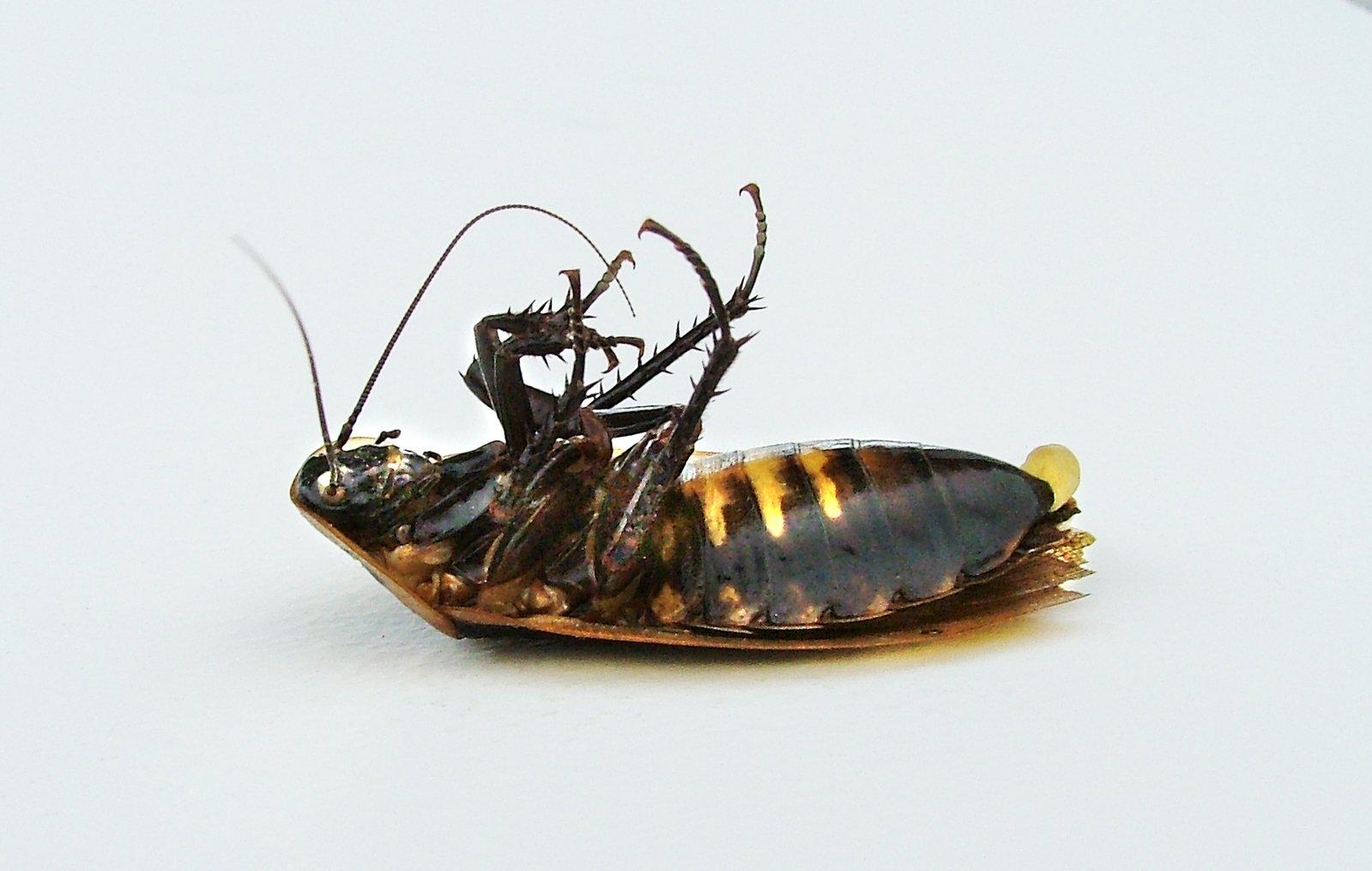Беременный таракан во сне 63
