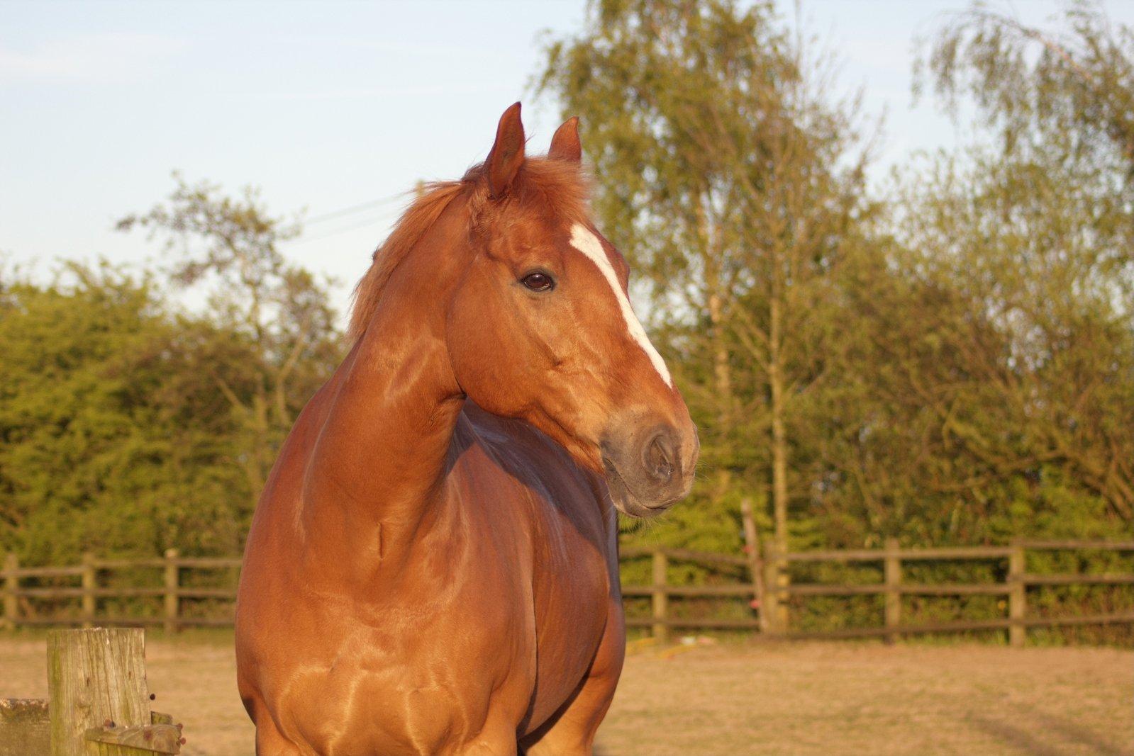Free Chestnut horse Stock Photo - FreeImages.com - photo#42