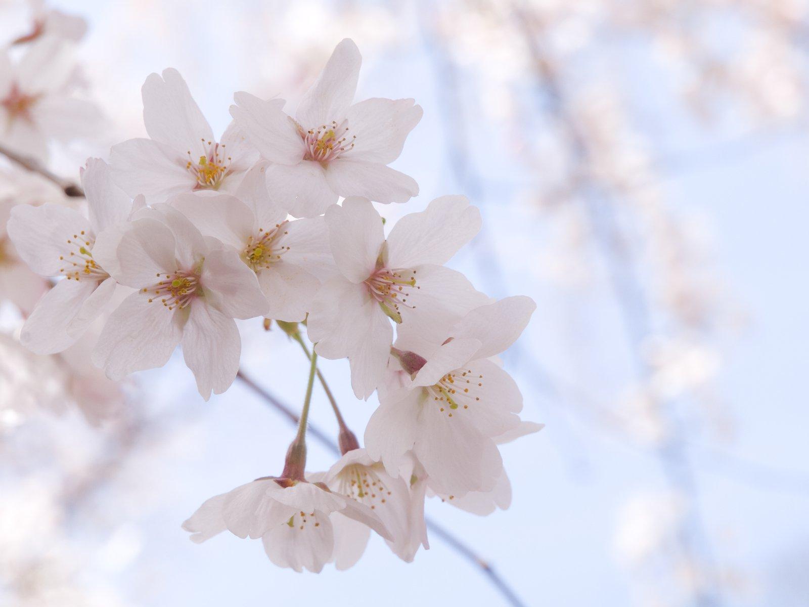 Cherry Blossoms Free