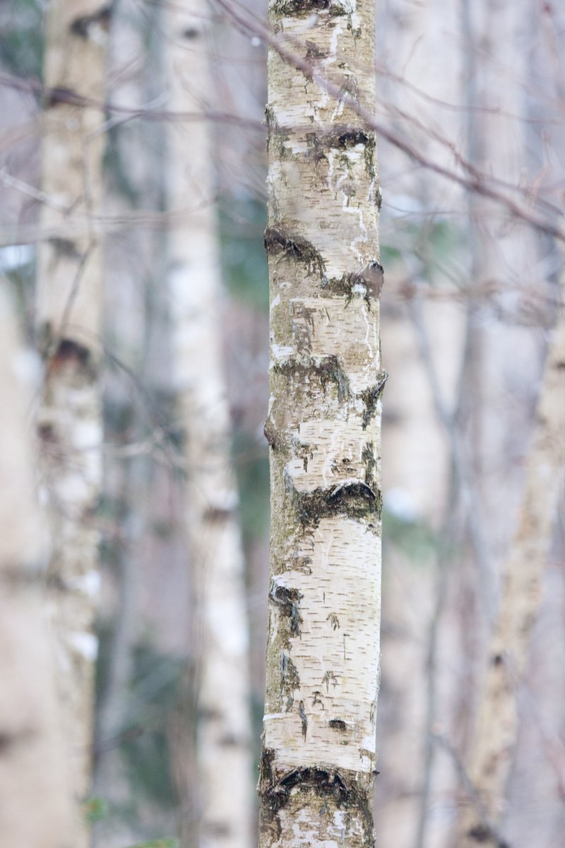 Free Birch Trees Stock Photo Freeimages Com