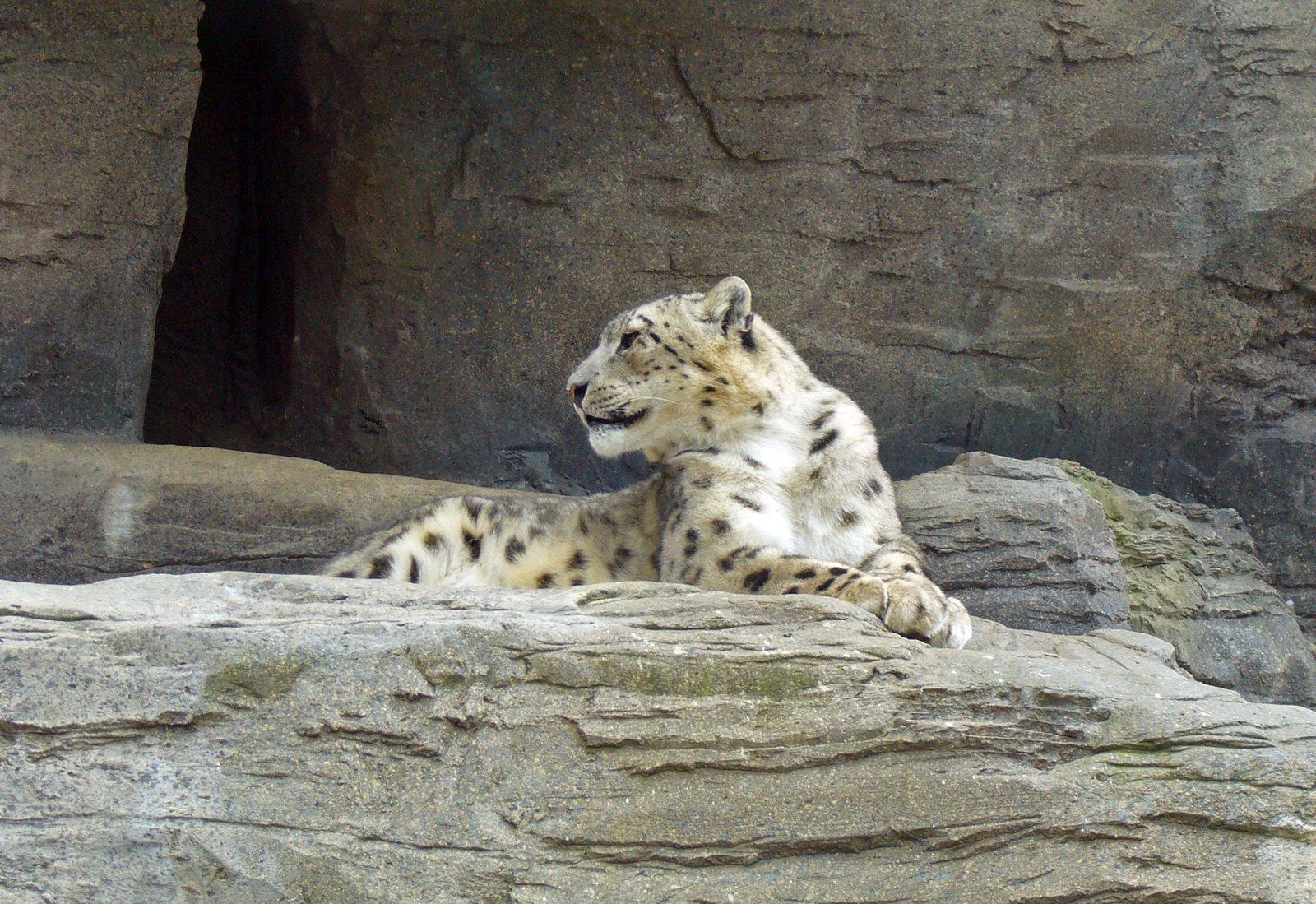 Free Snow Leopard Stock Photo