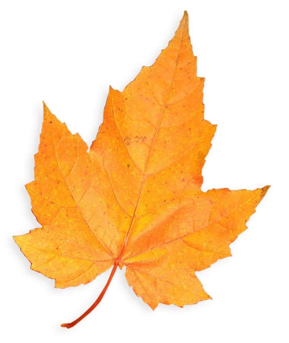 Желтые листья картинки на белом фоне, картинки любимому