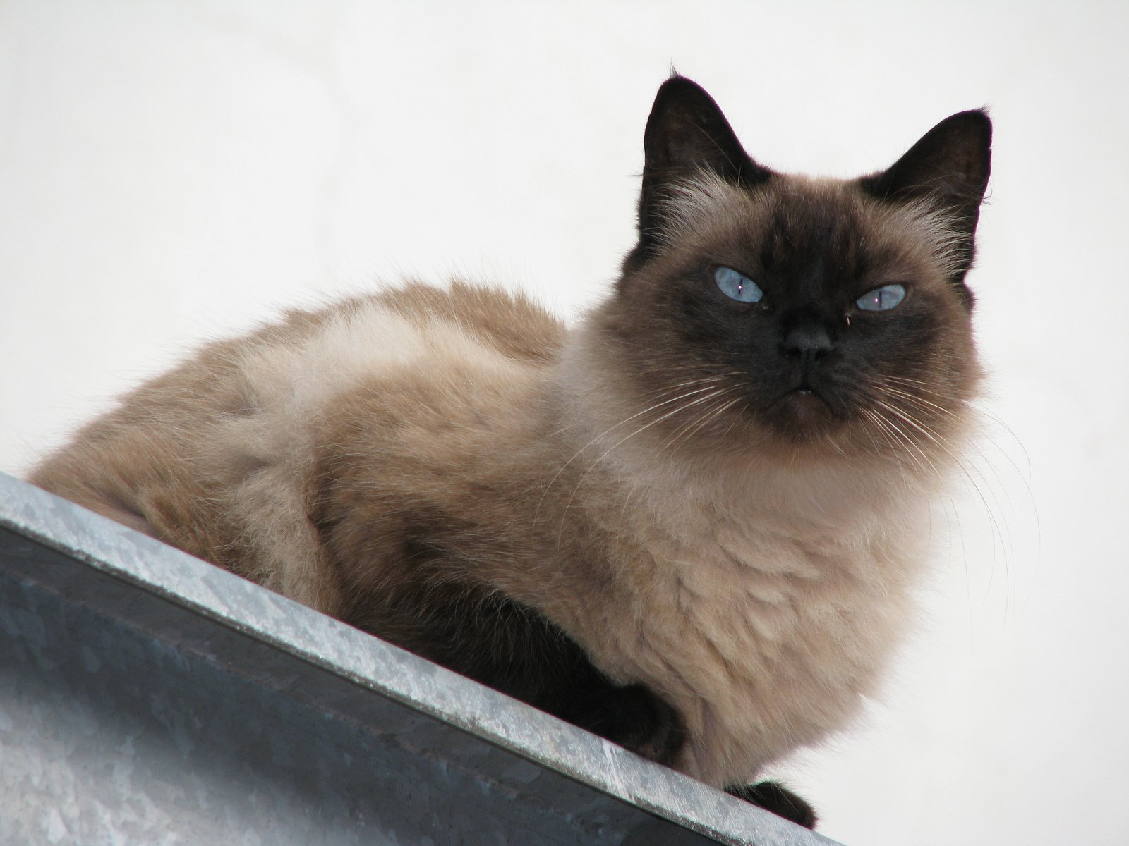 natural flea prevention for cats