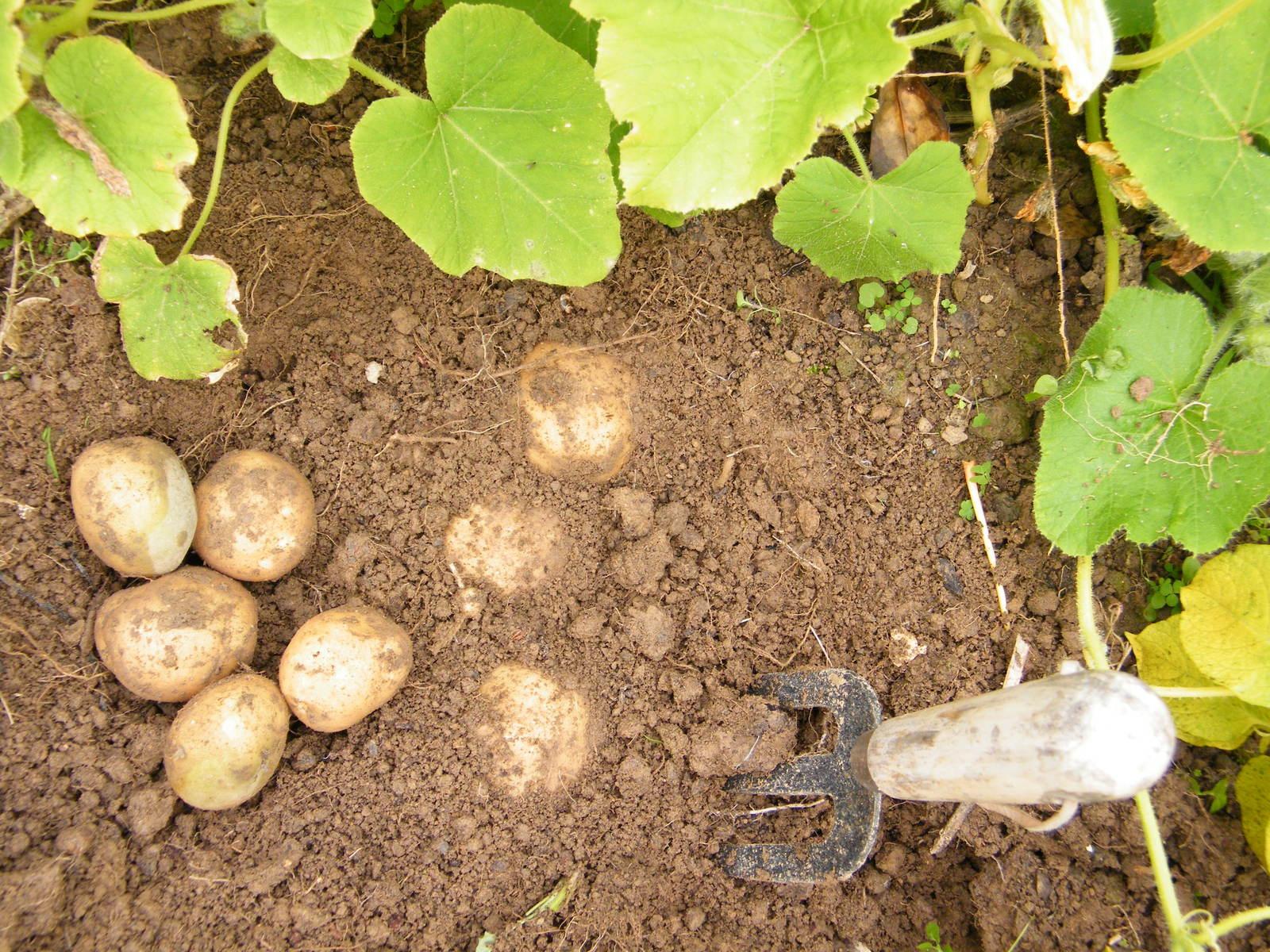 at a potato digging pdf