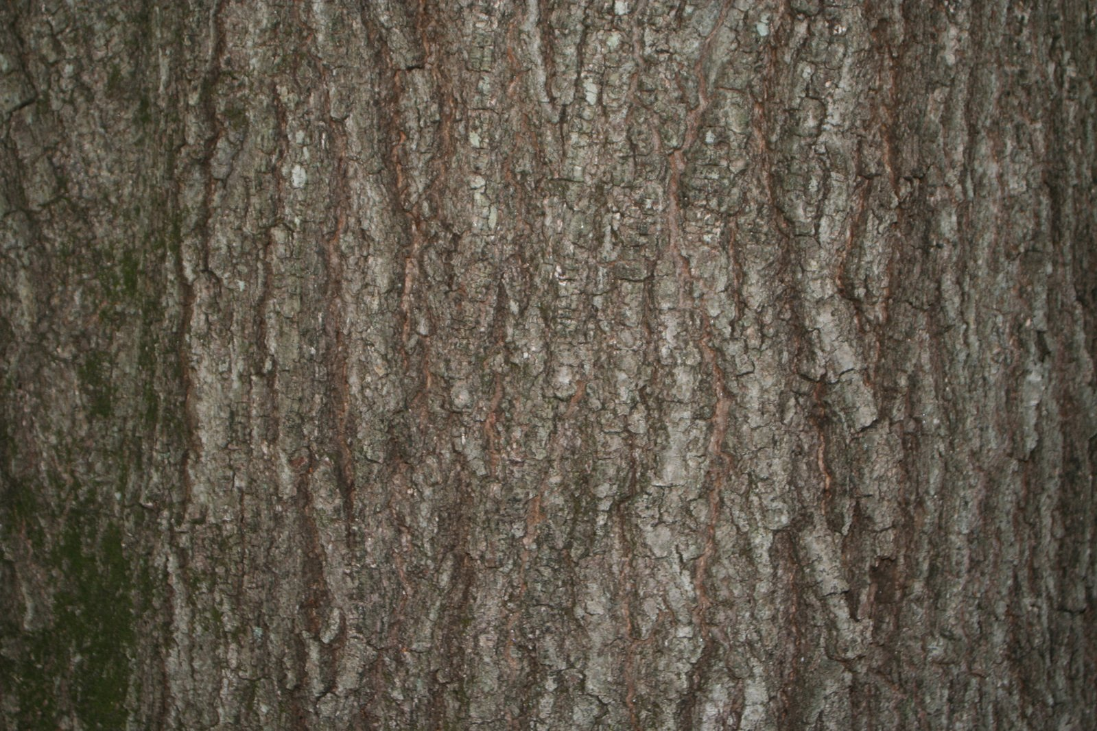 Free Willow Oak Fast Growning Small Leaf Oak Stock Photo