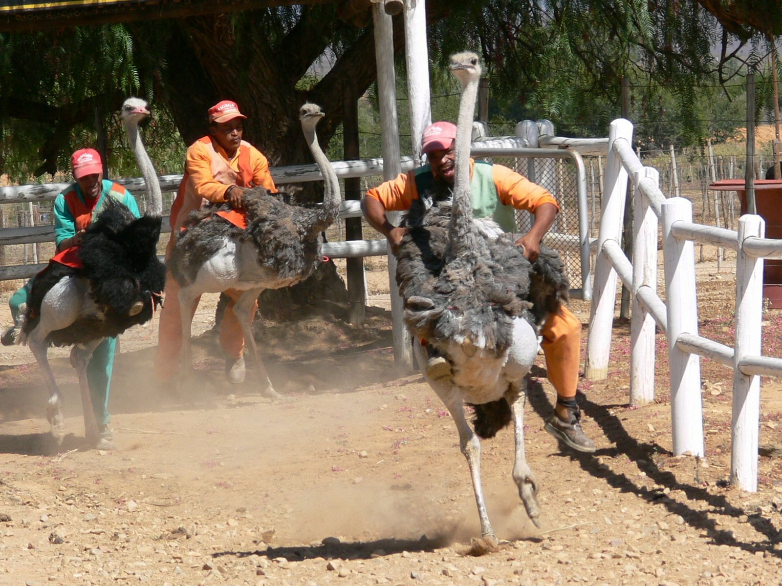 free ostrich racing stock photo freeimagescom