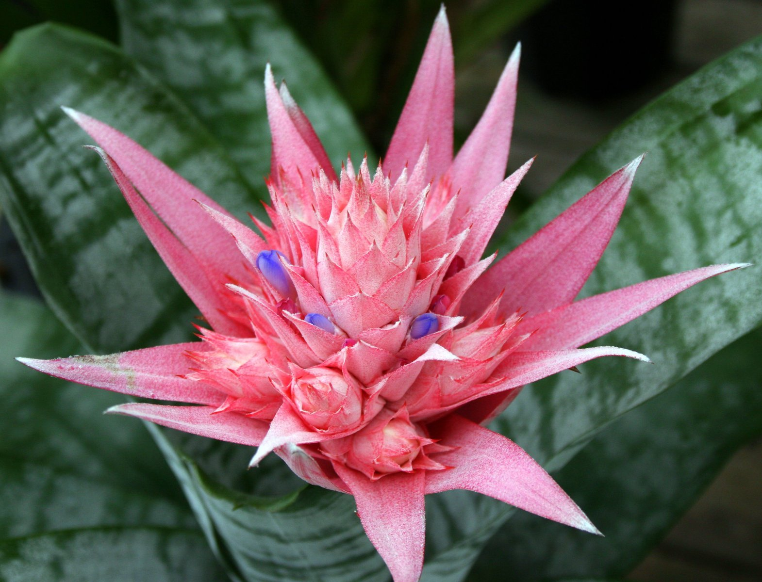 what are bromeliads jaz Only mature plants will flower, so a little patience is required when getting bromeliads to bloom from pups forcing a bromeliad to bloom sooner.
