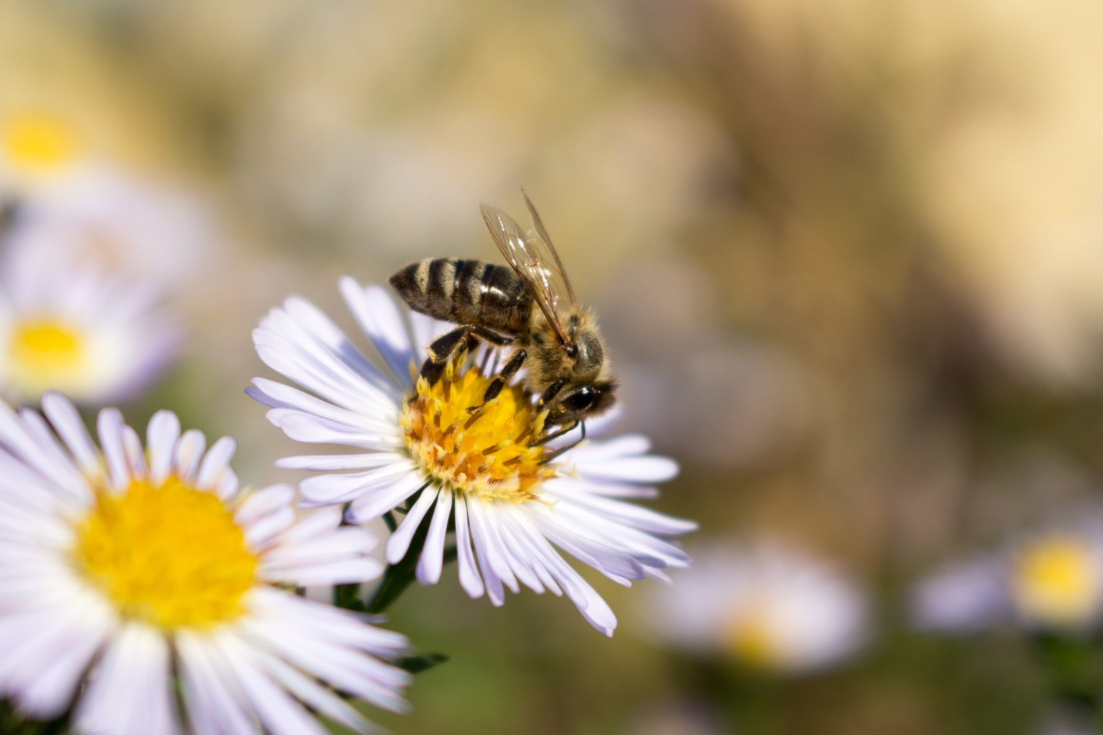 Free Bee on the flower in close-up Stock Photo ...