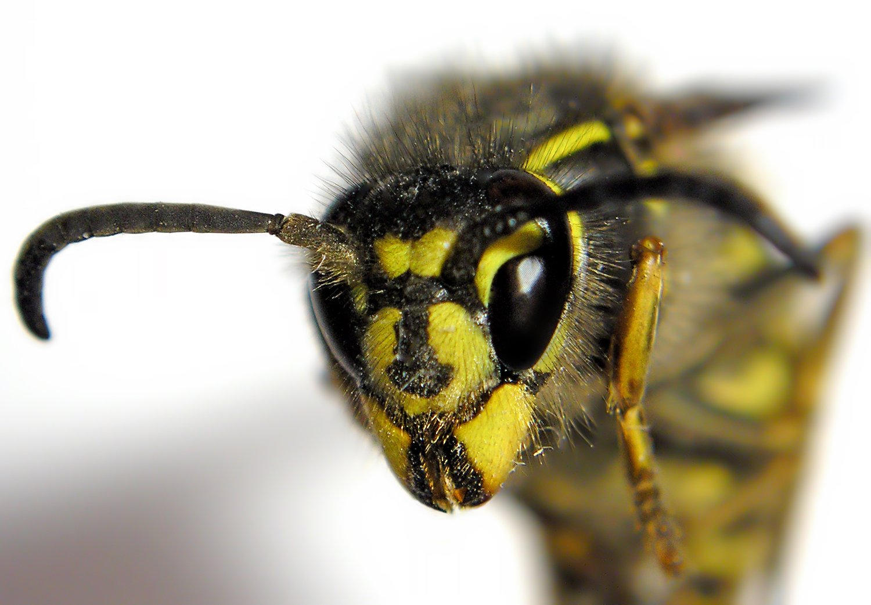 Что делать, если укусила оса или пчела 3