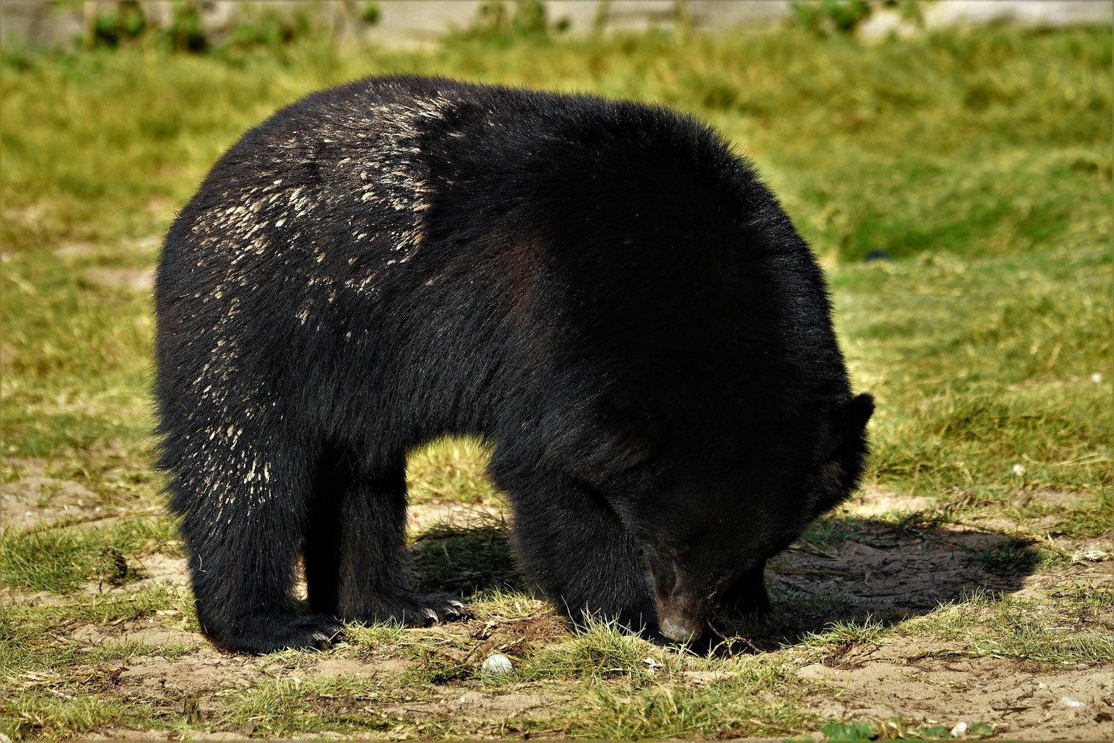 free the asiatic black bear stock photo freeimages com