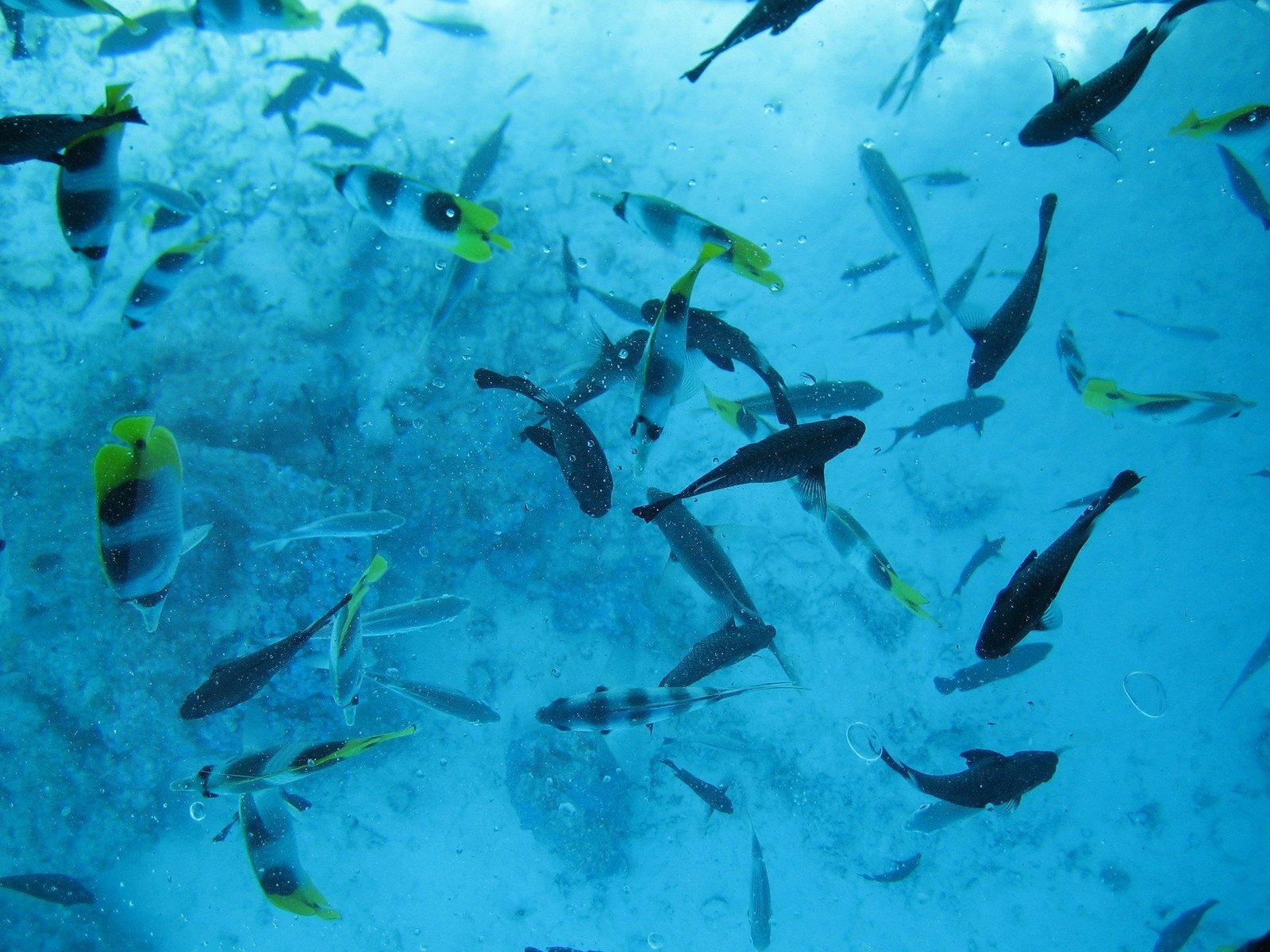 Free school of fish in bora bora stock photo for Bora bora fish