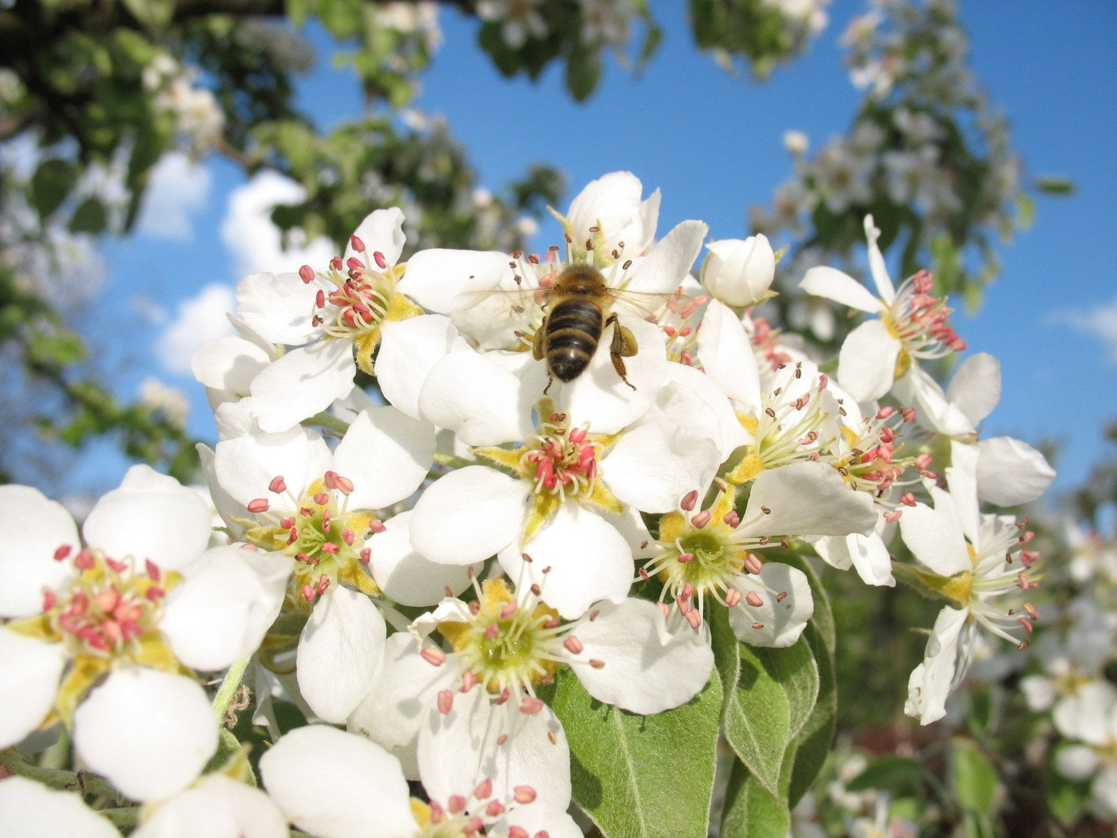 Free Bee And Spring Flowers Of Pear Tree Stock Photo Freeimages