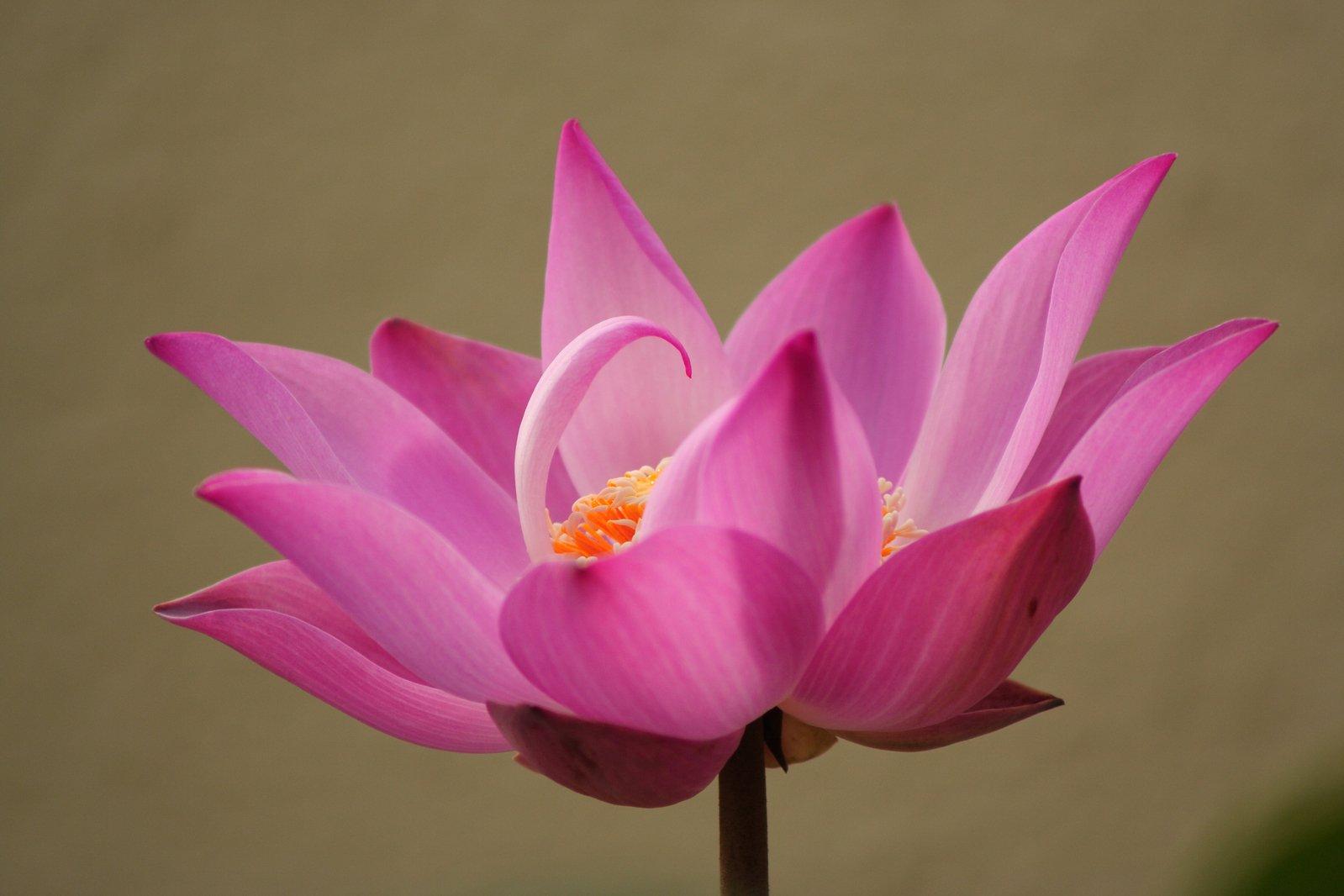 Free Lotus Flower Stock Photo Freeimages