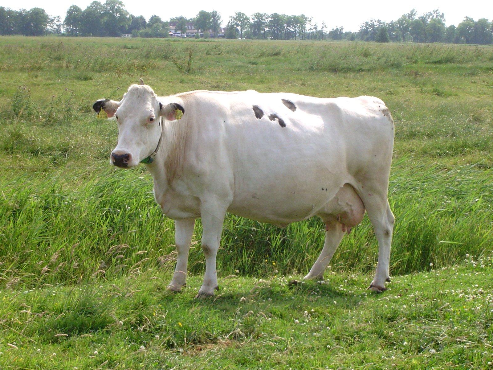 Bodybuilder-Kühe: Wollen wir diese Tiere wirklich noch essen?