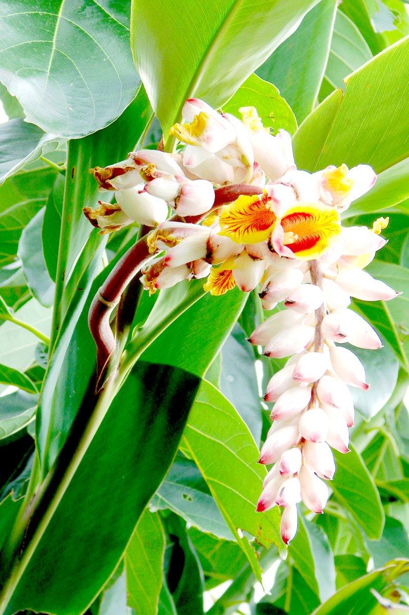 Foto Flor De Banano Ornamental De Stock Gratuita Freeimages Com