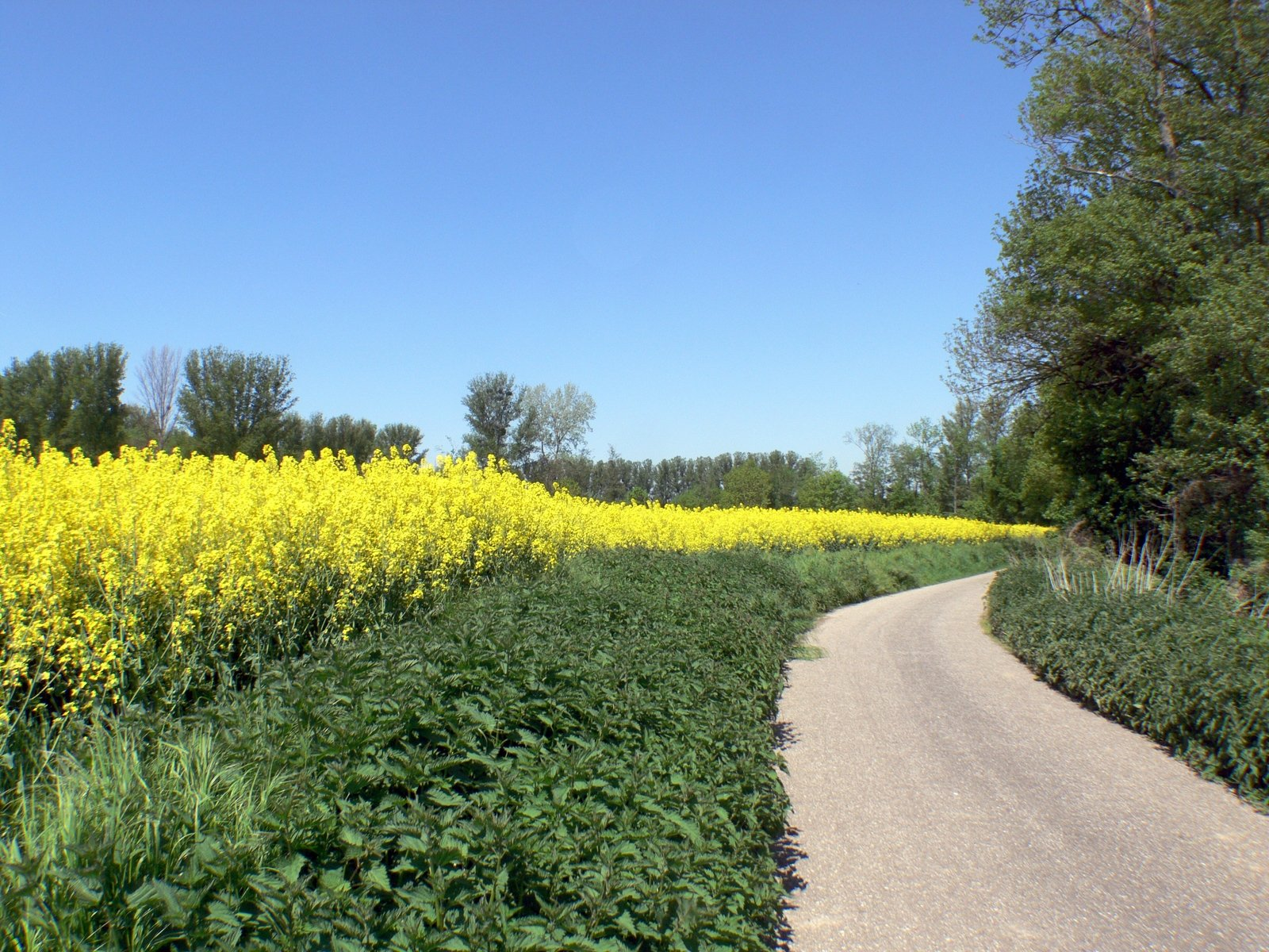 free canola fields 7 stock photo freeimages com