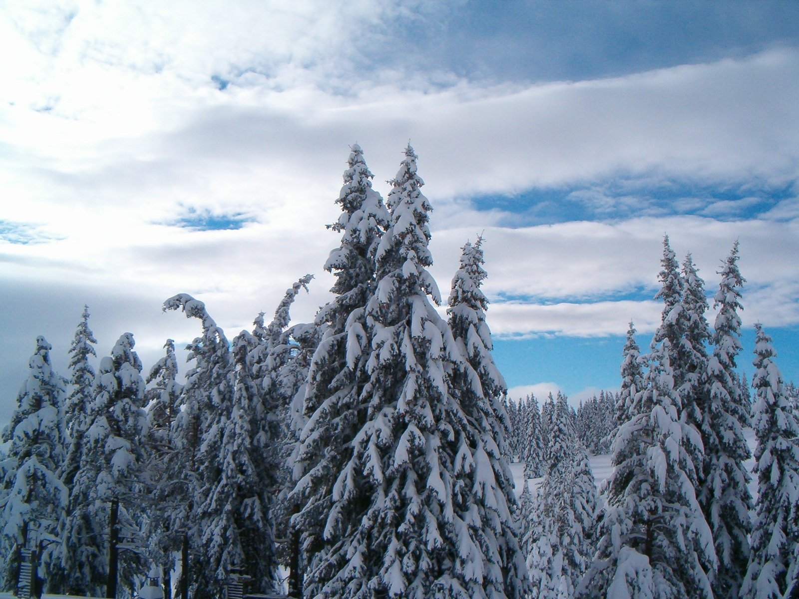 Free snow pine tree fores and cloudy sky stock photo - Images of pine trees in snow ...