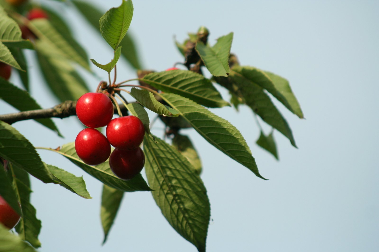 Free Sweetcherry Stock Photo Freeimages Com
