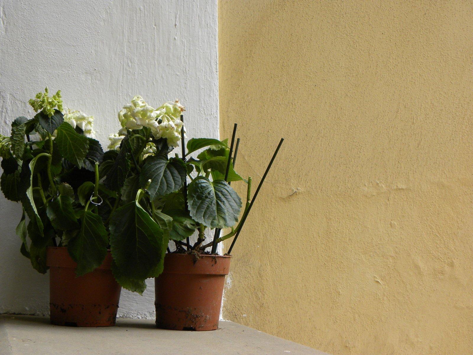 Free two flowerpots with yellow flowers on white yellow background free two flowerpots with yellow flowers on white yellow background stock photo mightylinksfo