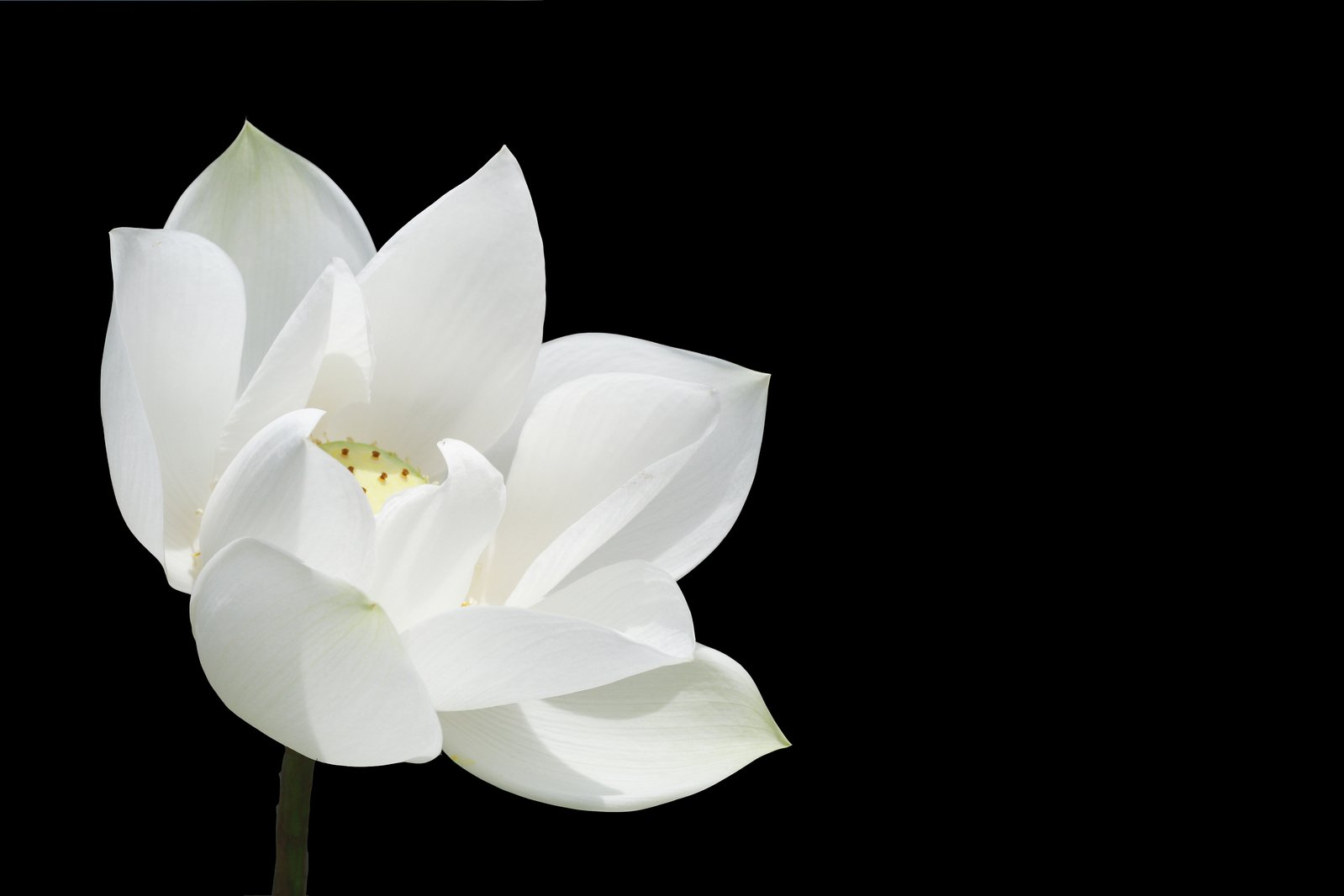 """Image result for a blooming white lotus free images"""""""