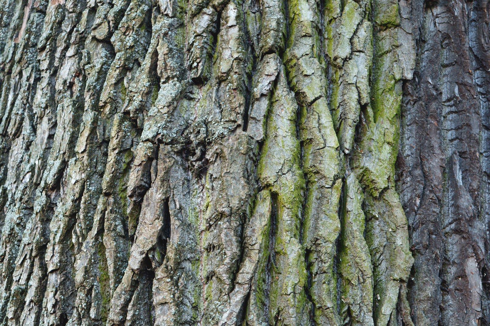 Free bark, tree, texture Stock Photo - FreeImages.com