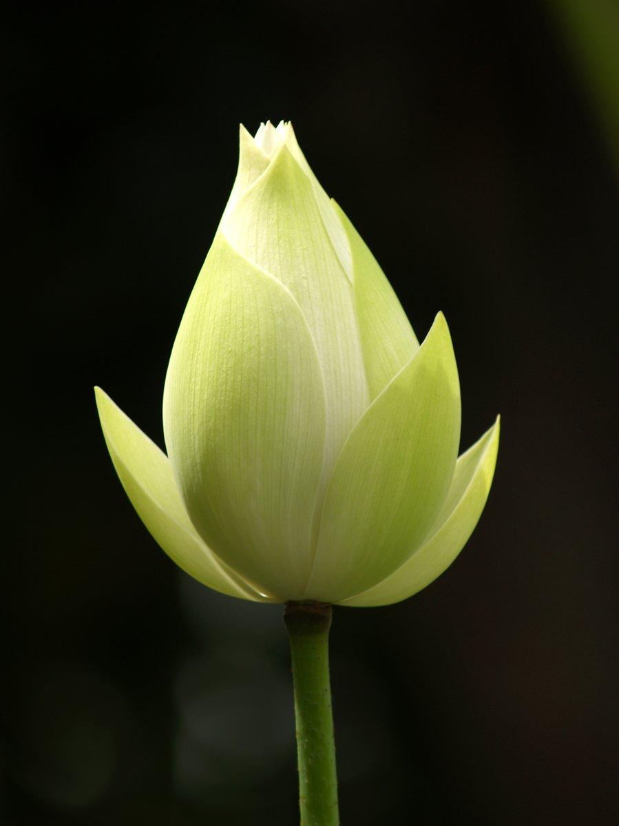 Free White Lotus 2 Stock Photo Freeimages