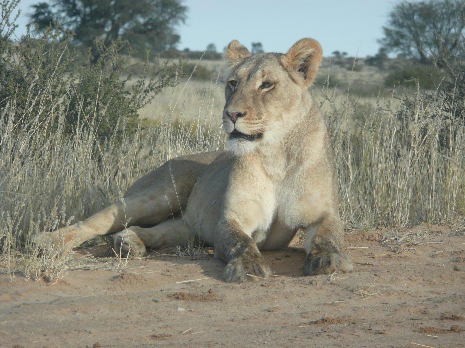 (juego) Imagen de Google Female-lion-2-1350471