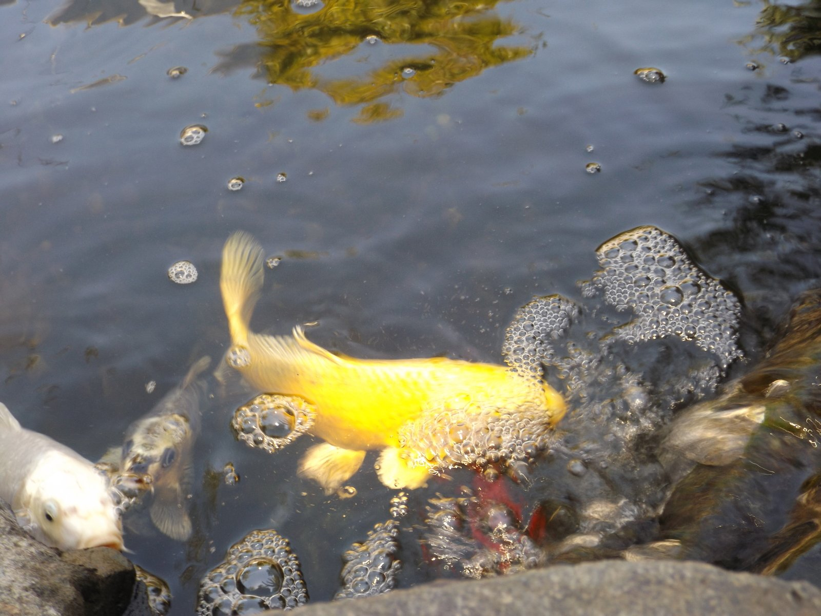 Free koi fish in pond stock photo for Large koi fish