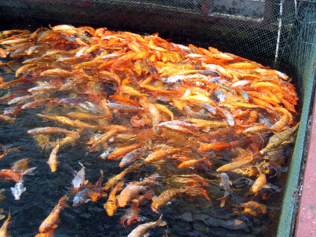 Free koi fish in qiandaohu china stock photo for Koi fish games