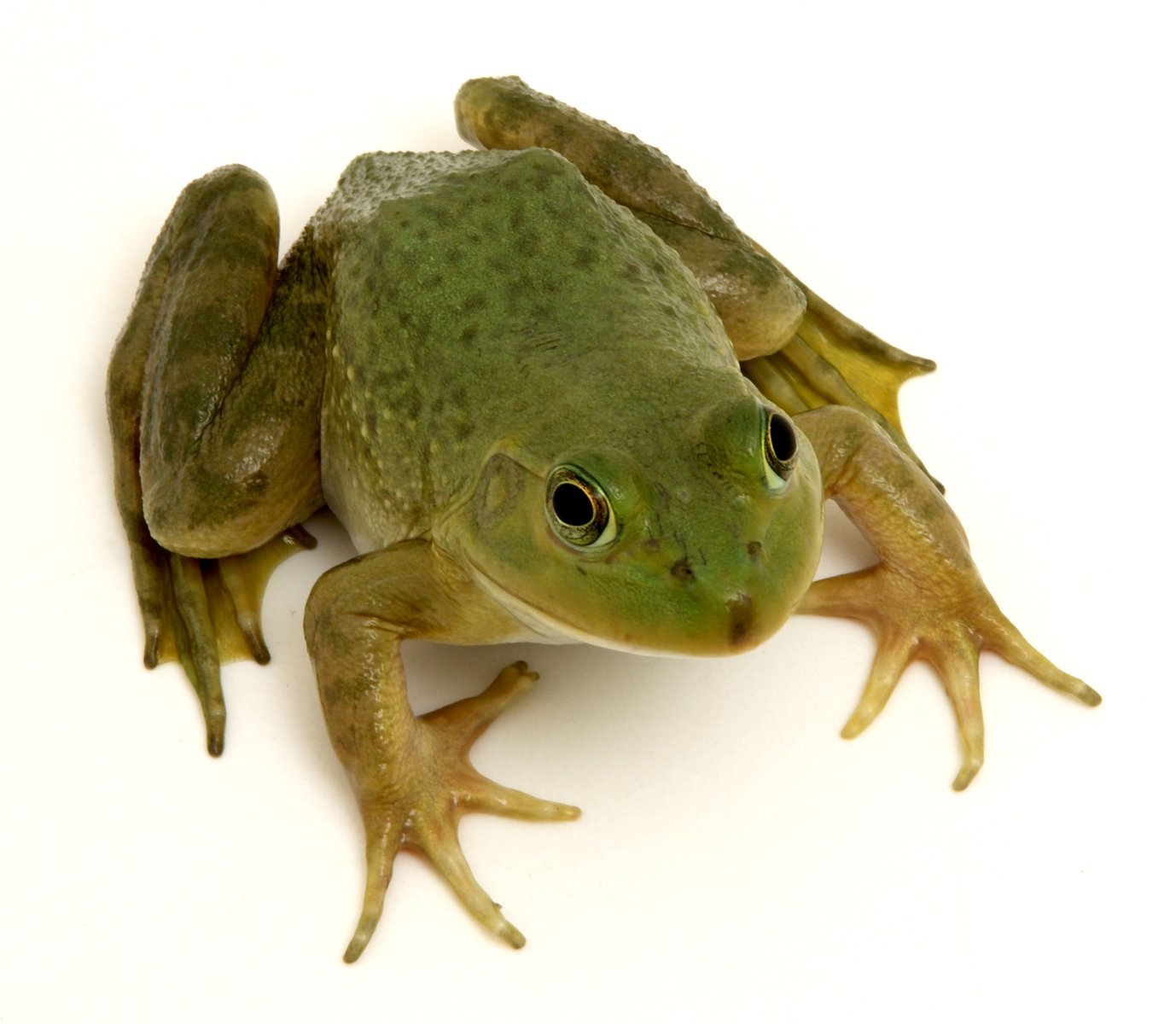 V Frog Kpm Free frog 3 Sto...