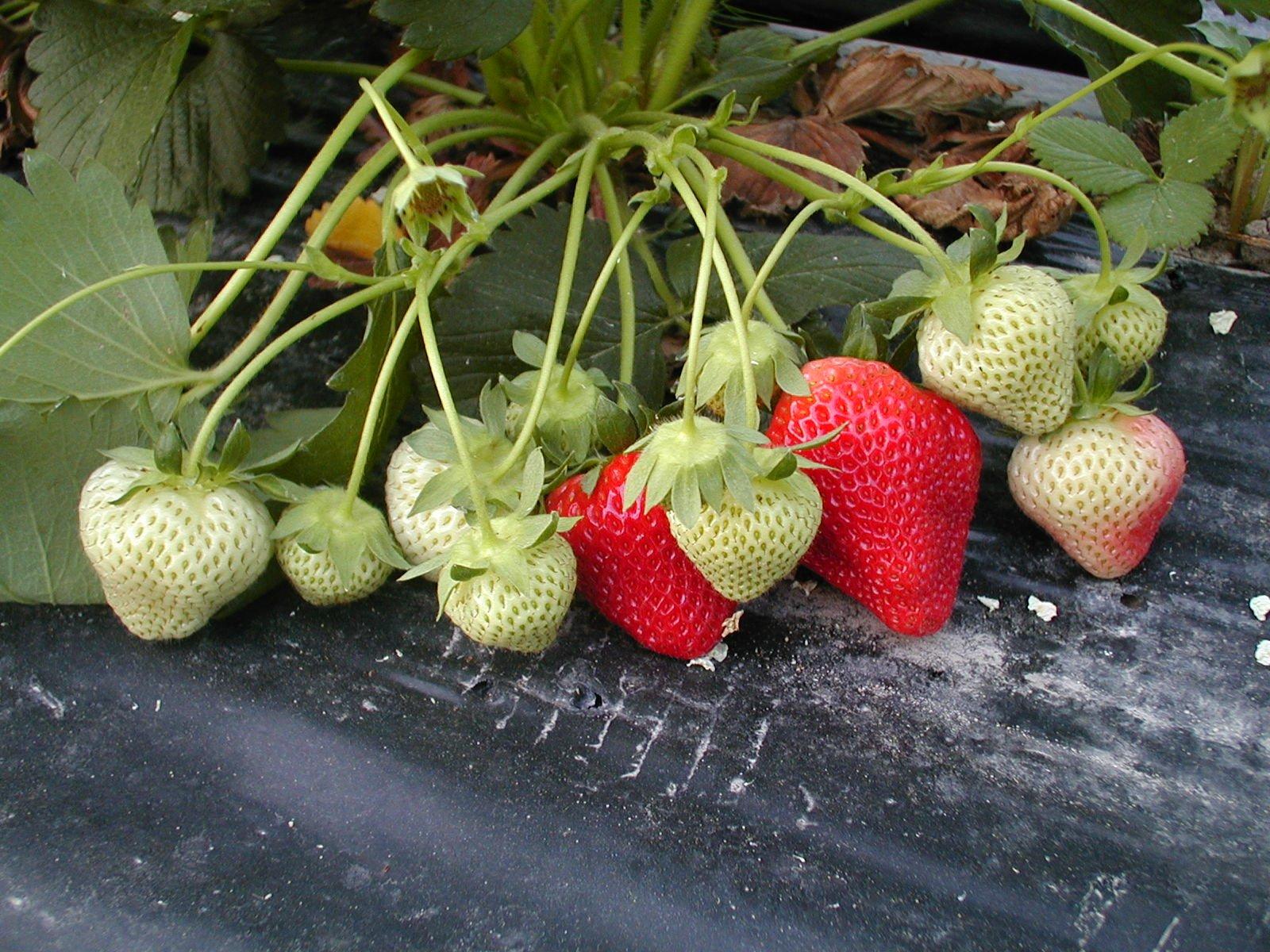 free plantation de fraises stock photo. Black Bedroom Furniture Sets. Home Design Ideas