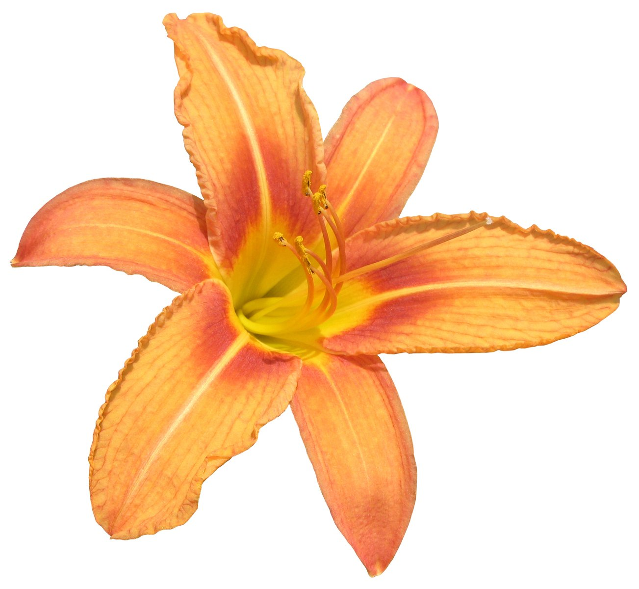 free clipping orange lily stock photo freeimagescom