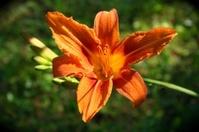 Tiger or Day Lily - Hemerocallis