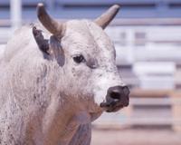 Rodeo Bucking Bull
