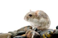 hamster pebble