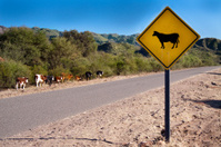 bright yellow cow sign along country road