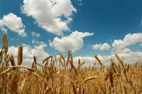 Summer corn wheats