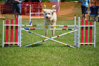 Dog leaping over a double jump at agility trial
