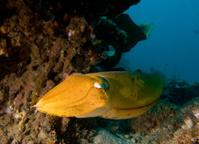 Cuttlefish (Sepiida)