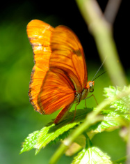 Julia Butterfly Perched on a Leaf