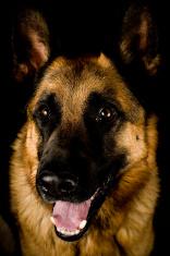 Dog German Shepherd isolated on black