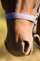 Horse nose portrait