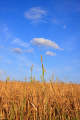 Ripe Summer Wheat