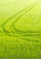 Barley field in spring