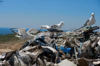 Landfill birds