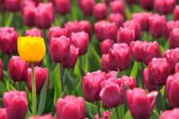 Glade of violet tulips