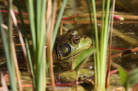 Bull Frog in the Weeds